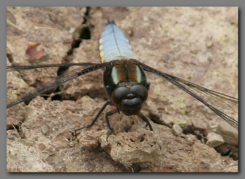 Broad bodied chaser face