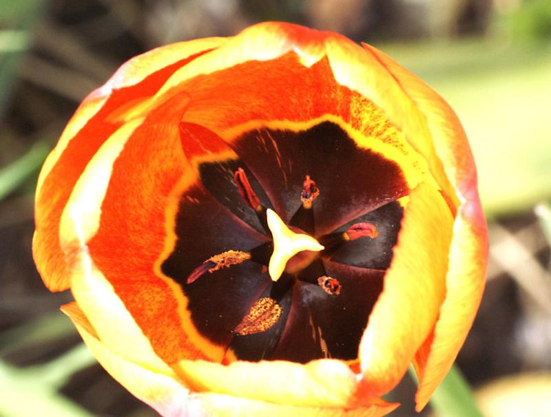 Tulip from above
