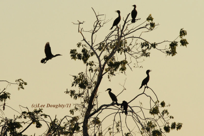 Double Crested Cormorants at Sunset.