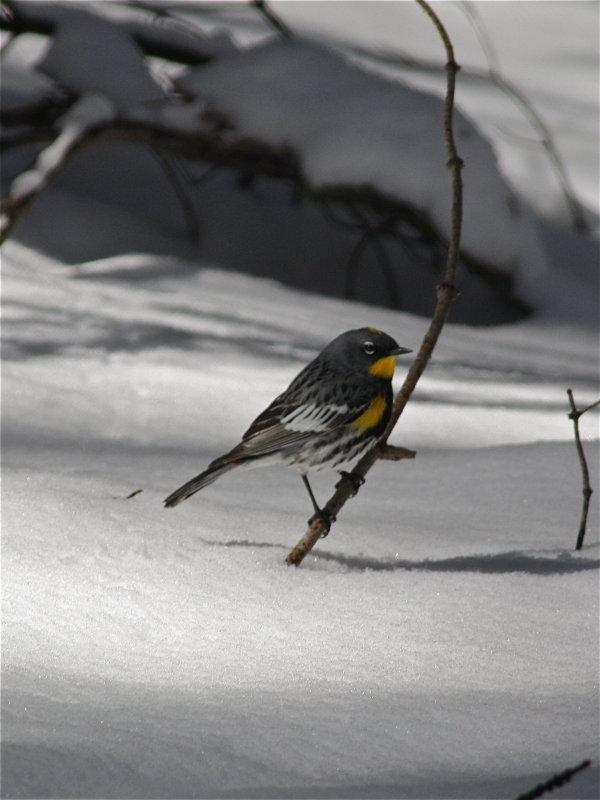 2561 Yellow -rumped Warbler