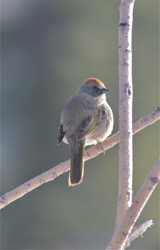 2796 Green-tailed Towhee
