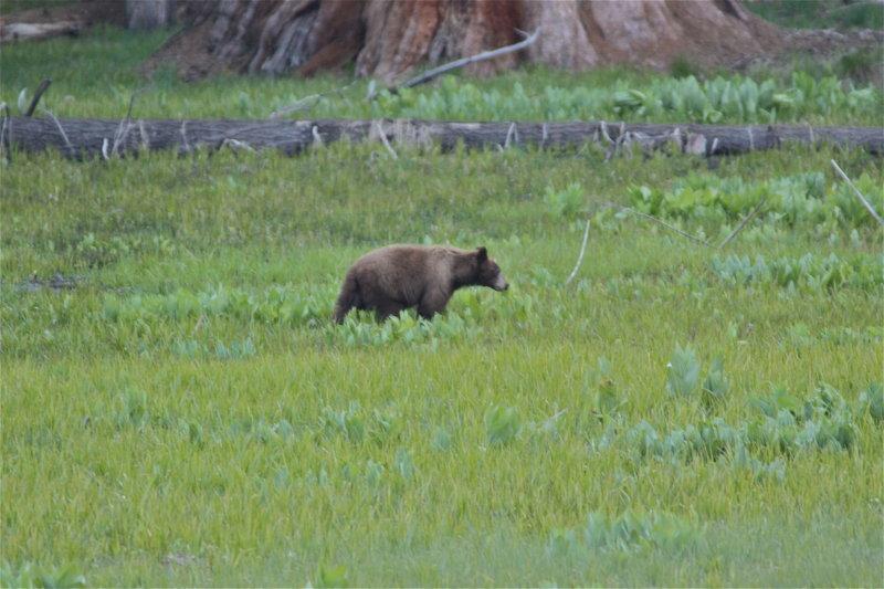 3125 Black Bear (Brown Morph)