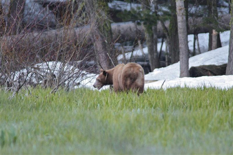 3252 Black Bear (Brown Morph)