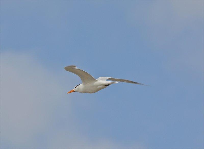 7173 Royal Tern