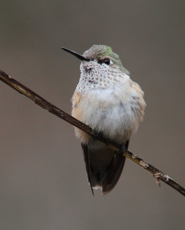 Calliope Hummingbird_1766.JPG