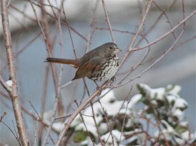 2482 Fox Sparrow
