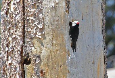 2656 White-headed Woopdpecker