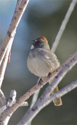 2779 Green-tailed Towhee