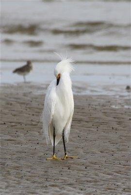 7436 Snowy Egret