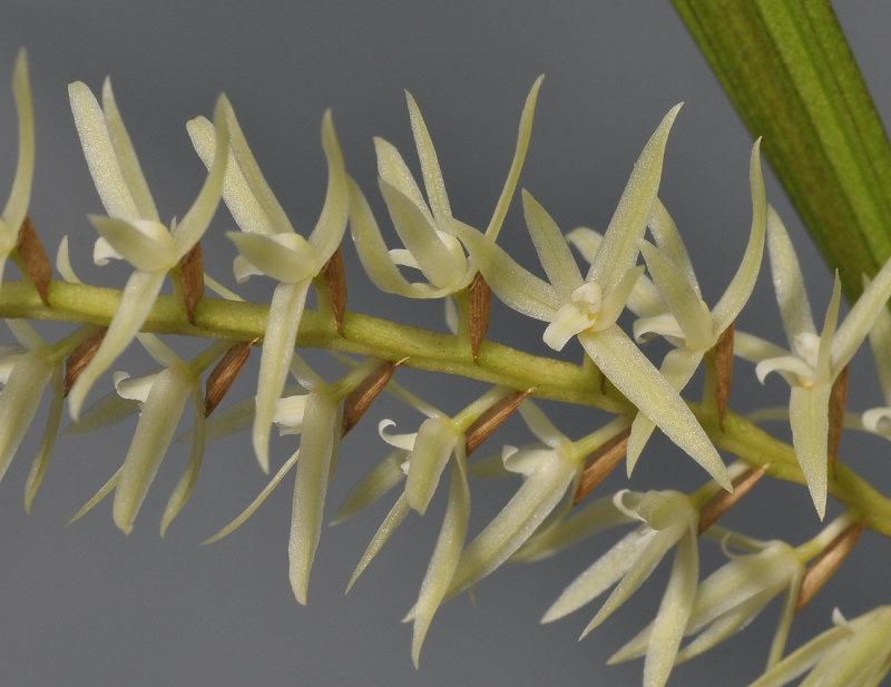 Dendrochilum yuccifolium. Closer.
