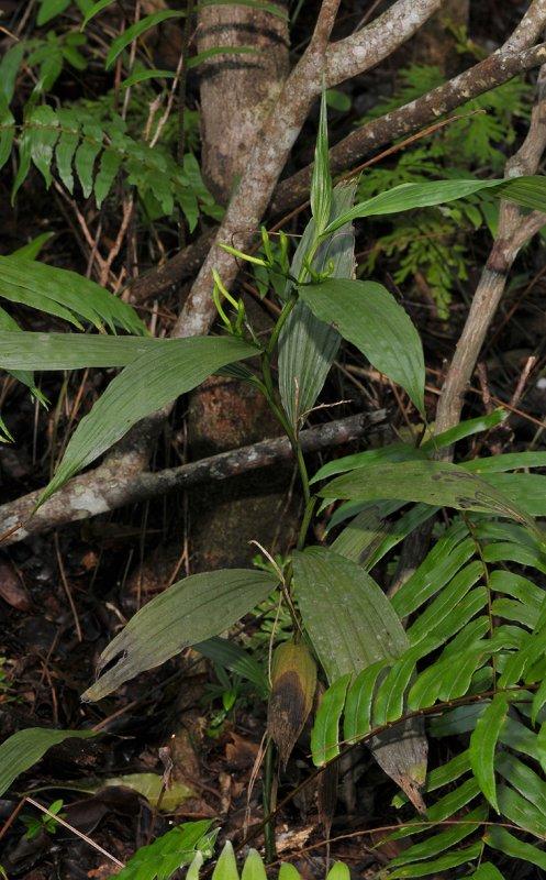 Corymborkis corymbis.