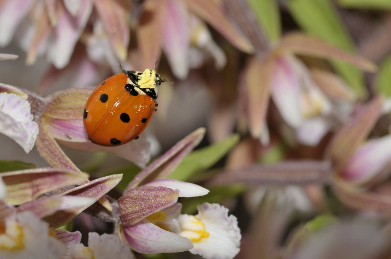 Epipactis palustris pollinated by Coccinella septempunctata.