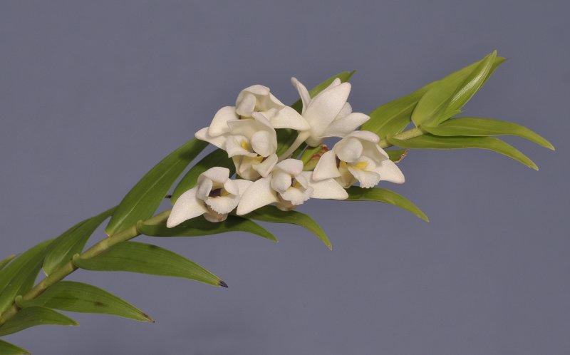 Dendrobium clausum/obliquum
