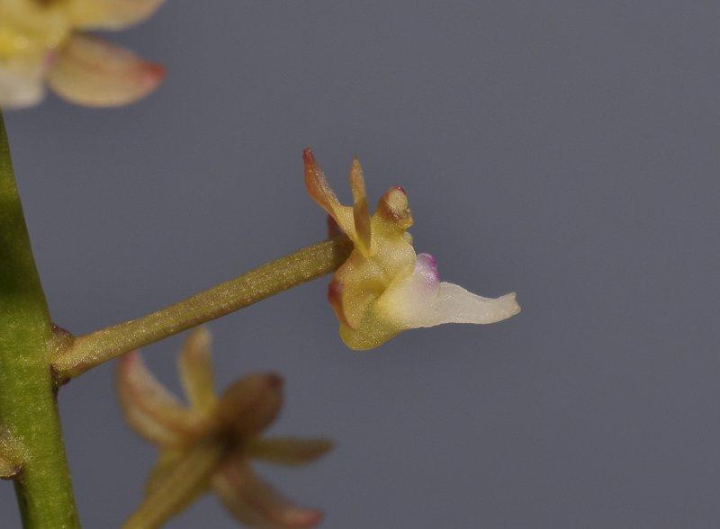 Cleisostoma williamsonii. Close-up side.