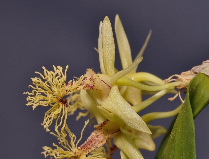 Dendrobium comatum. Close-up side.