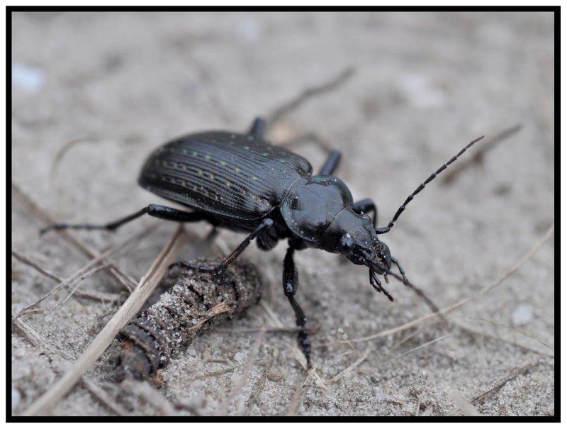 Carabidae Beetle - Black Caterpillar Hunter (Calosoma sayi)
