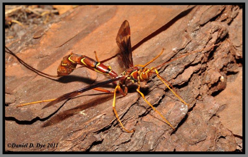Giant Ichneumon Female (Megarhyssa macrurus)