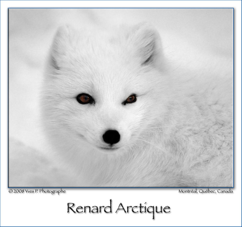 Renard arctique ...