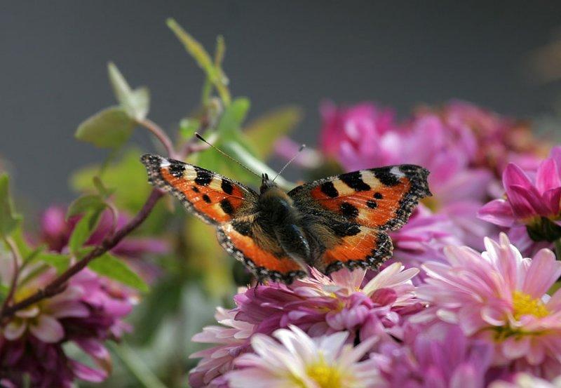 kleiner Fuchs /  small tortoiseshell (butterfly)