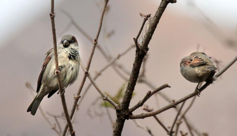 Haussperlinge / House Sparrows
