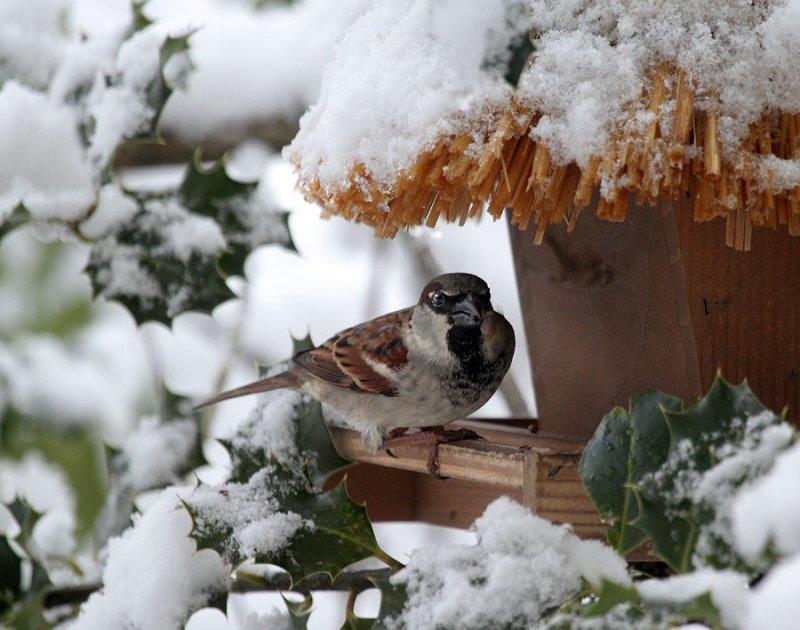 Haussperling/ House Sparrow