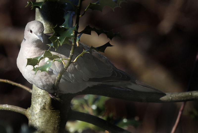 Türkentaube / Eurasian Collared Dove