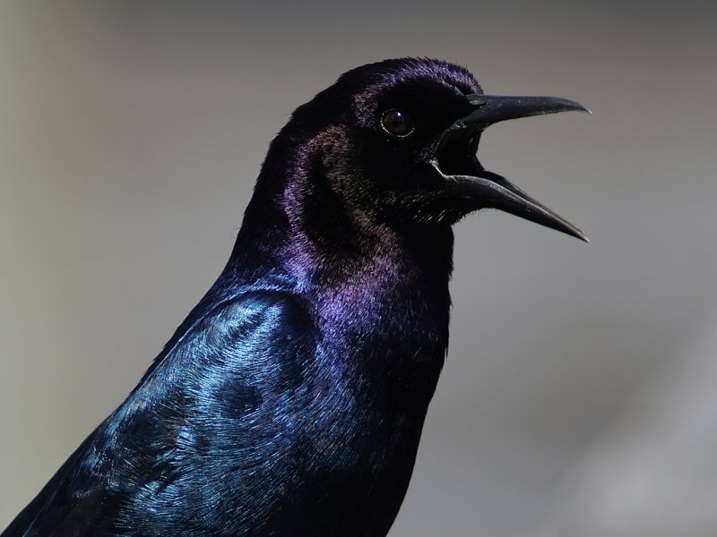 Boat-tailed grackle closeup