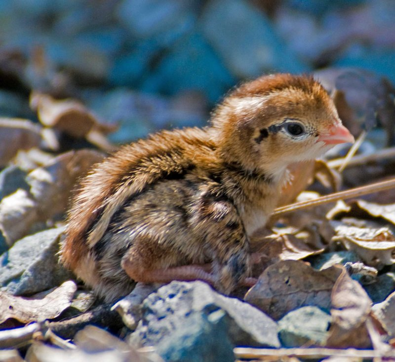 baby quail with injury.jpg