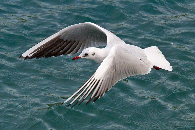 Week 08 - Black-headed Gull.jpg