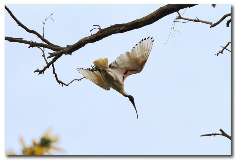 Australian White Ibis - Take off