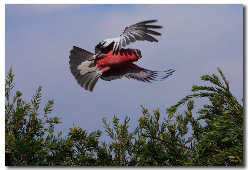 Galah in flight