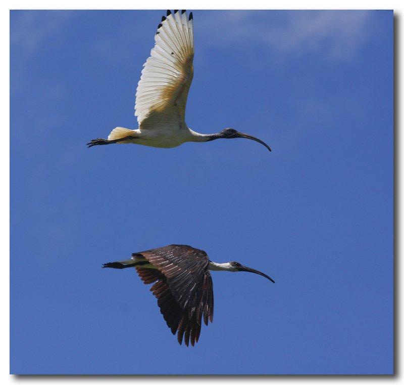 White Ibis & Straw Necked Ibis
