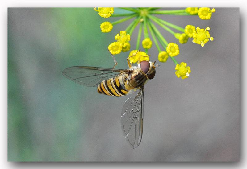 Zweefvlieg (Syrphidae) macro