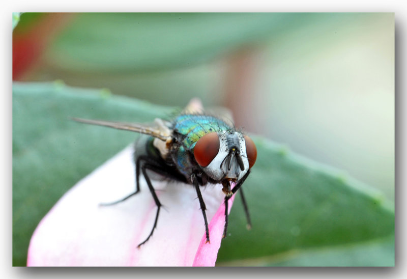 fly macro groene vlesvlieg