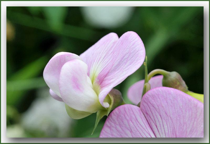 Lathyrus odoratus - Reukerwt / pronkerwt