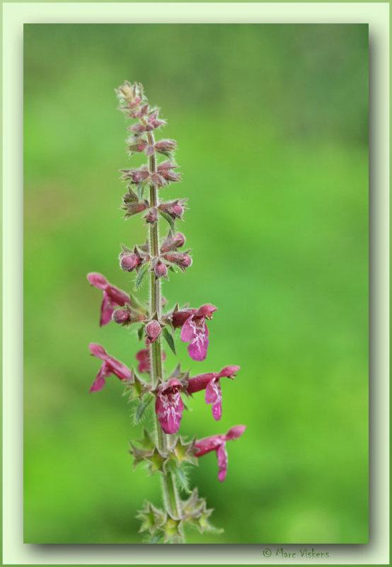 moerasandoorn Stachys Palustris