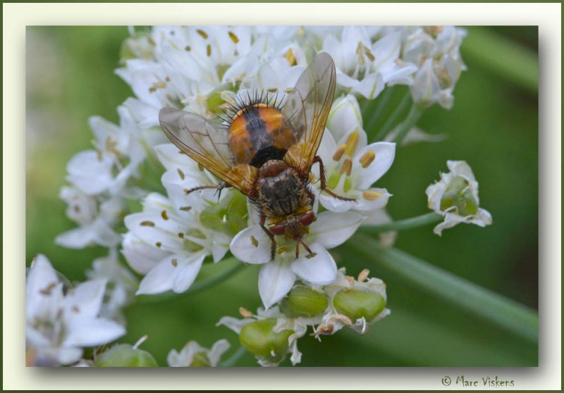 fly on a the flowers of chive