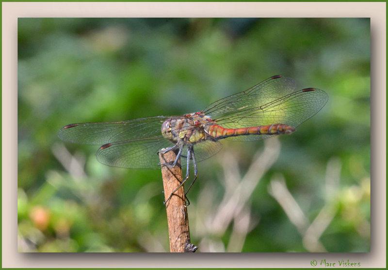 libelle /  bruinrode heidelibel (Sympetrum striolatum)