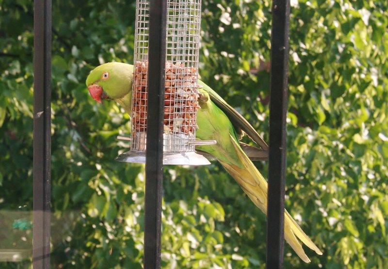 Parrot in Putney