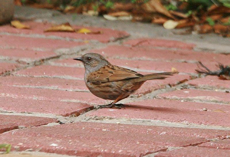 Sparrow ?