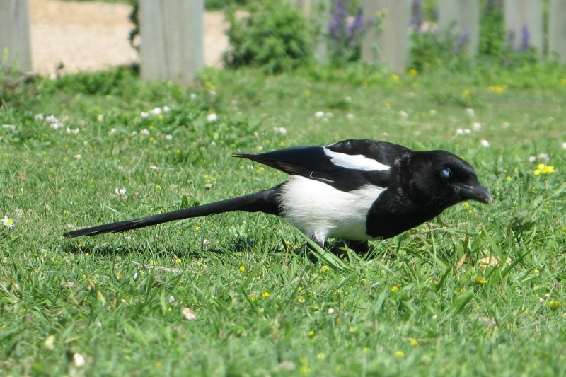 Magpie gives me the evil eye.