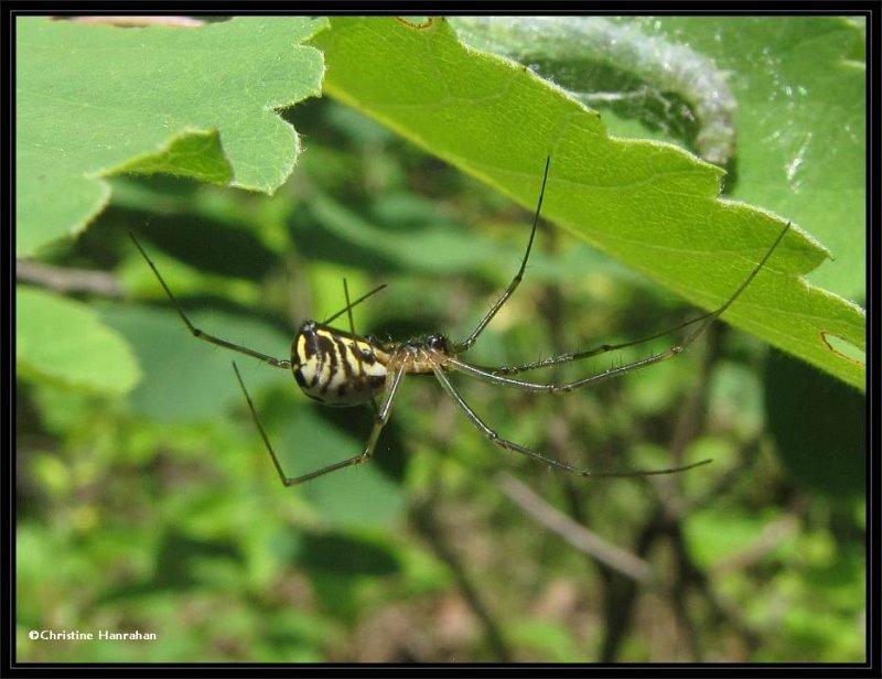 Probably Filmy dome spider (<em>Neriene</em>), female