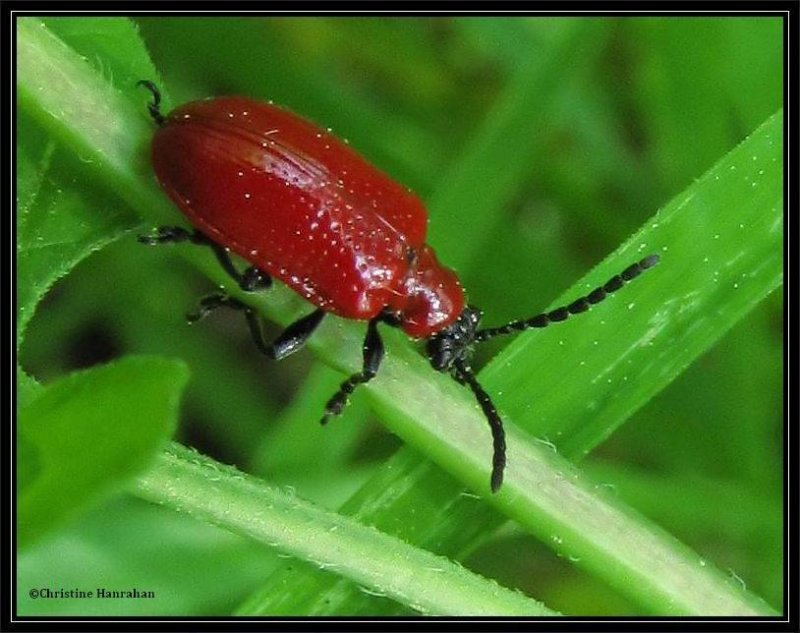 Lily leaf beetle (<em>Lilioceris lilii</em>)