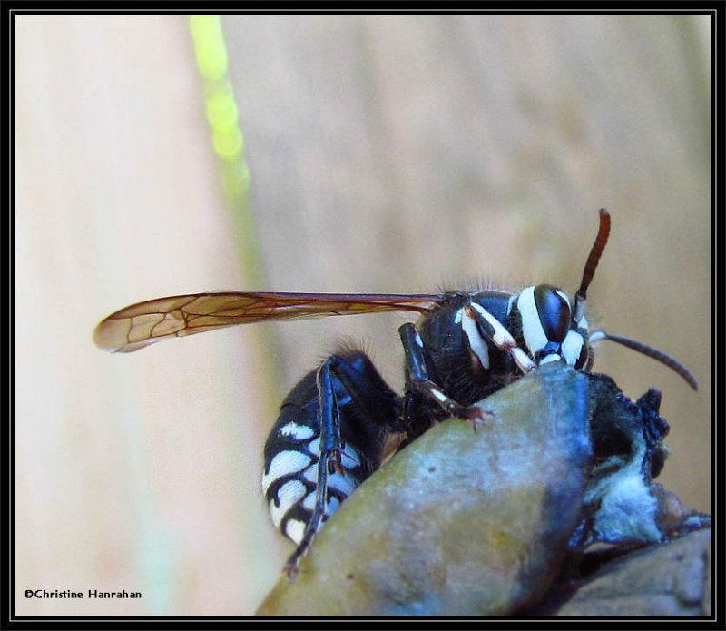 Bald-faced hornet (<em>Dolichovespula maculata</em>)