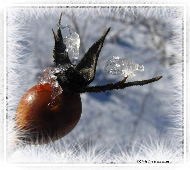 Rosehip and ice