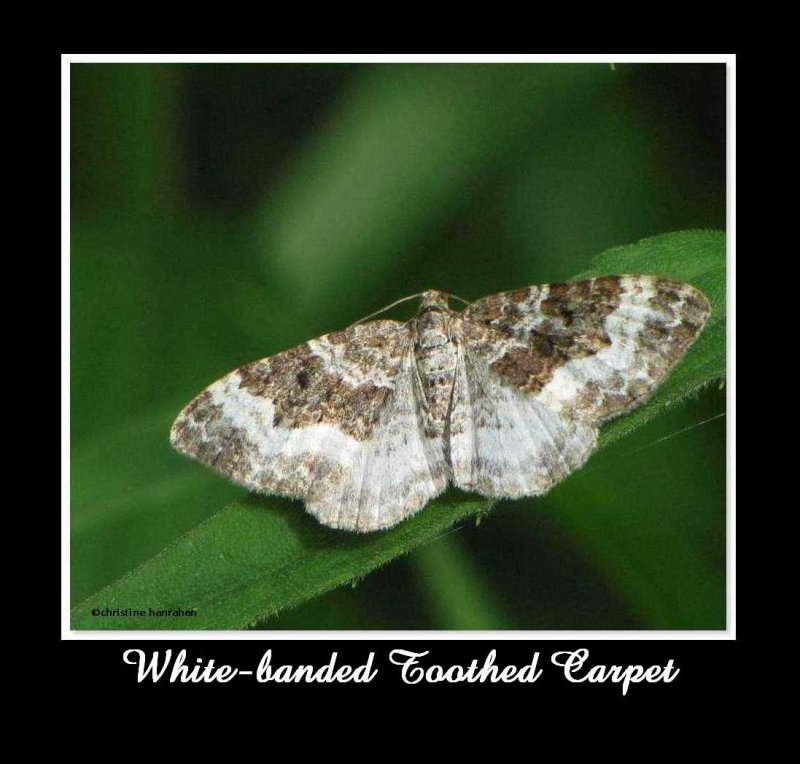 White-banded toothed carpet (<em>Epirrhoe alternata</em>) #7394
