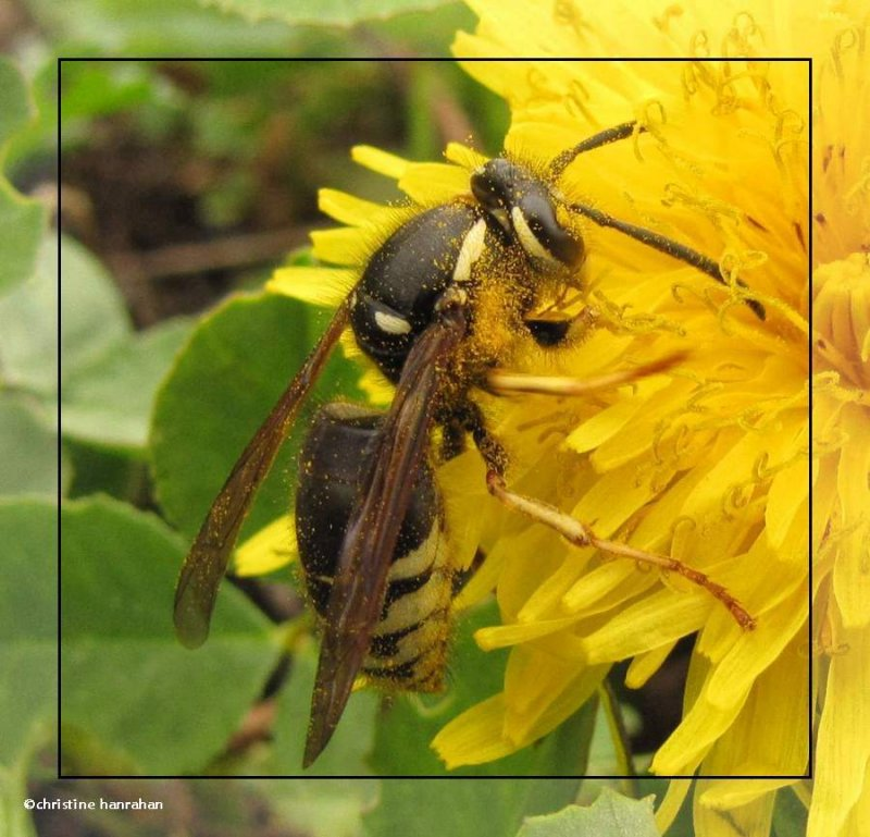 Bald-faced hornet (<em>Dolichovespula maculata</em>) on dandelion