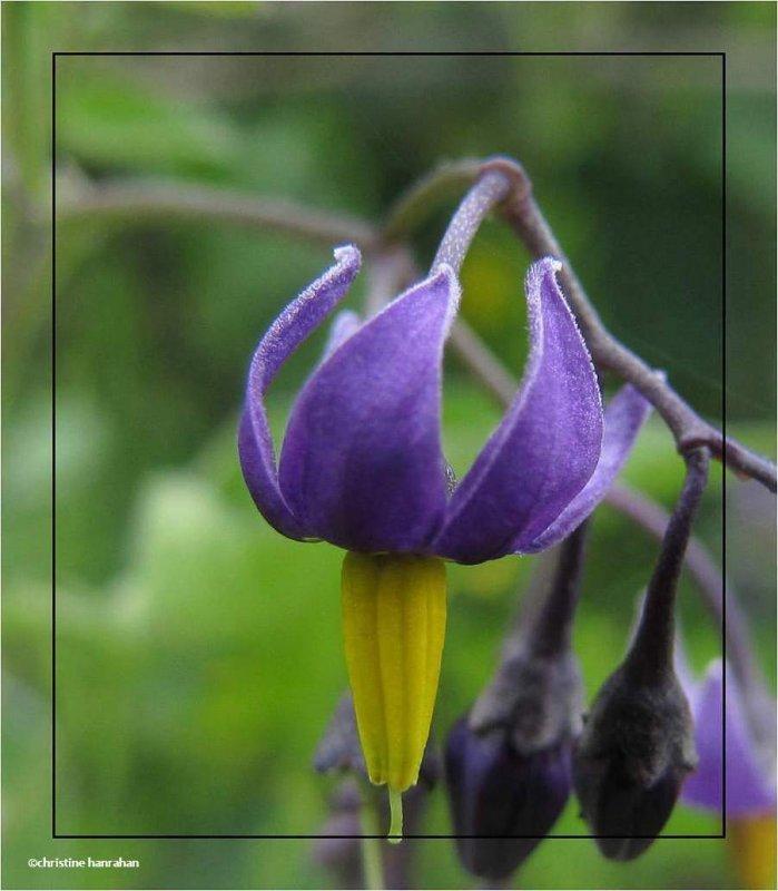 Purple nightshade (<em>Solanum dulcamara</em>)