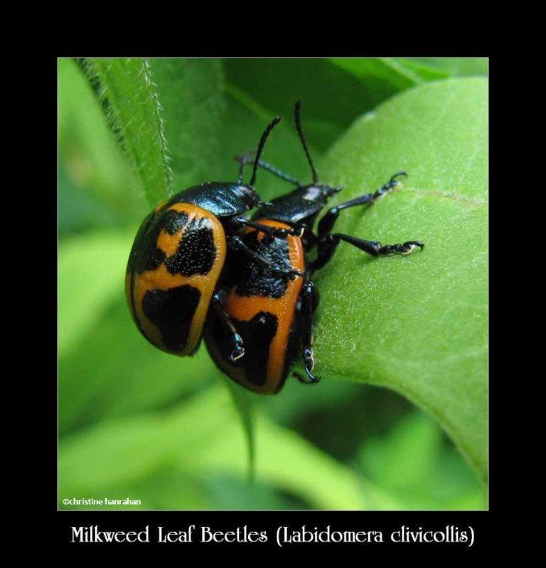 Milkweed leaf beetles (<em>Labidomera clivicollis</em>)