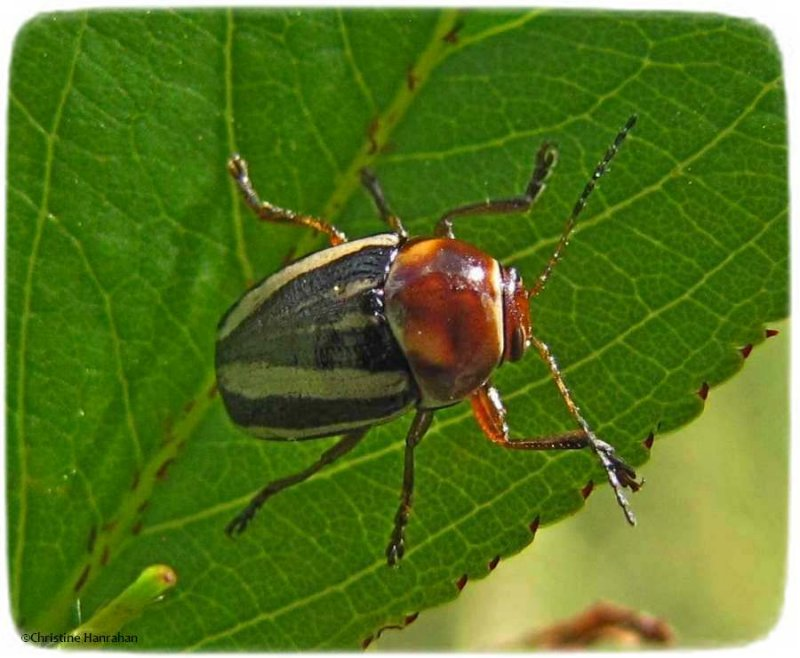 Leaf beetle (<em>Cryptocephalus</em> sp.)